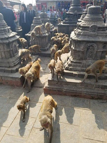 Monkeys at monkey temple