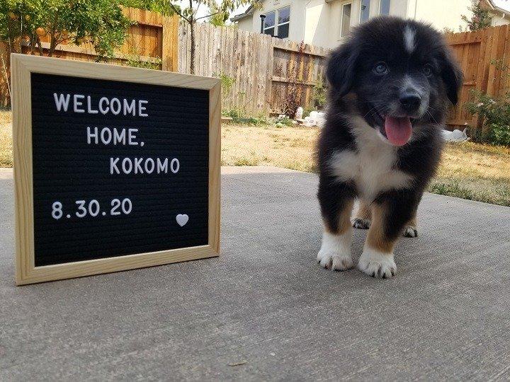 8 week old mini aussie named Kokomo