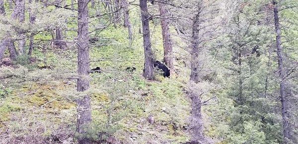 Yellowstone black bear mama and cubs