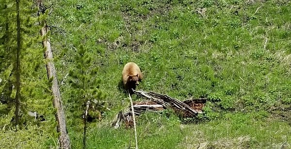Yellowstone agrizzly bear