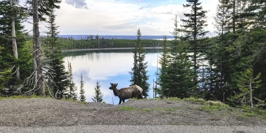 elk in front of lake in Yellowstone National Park