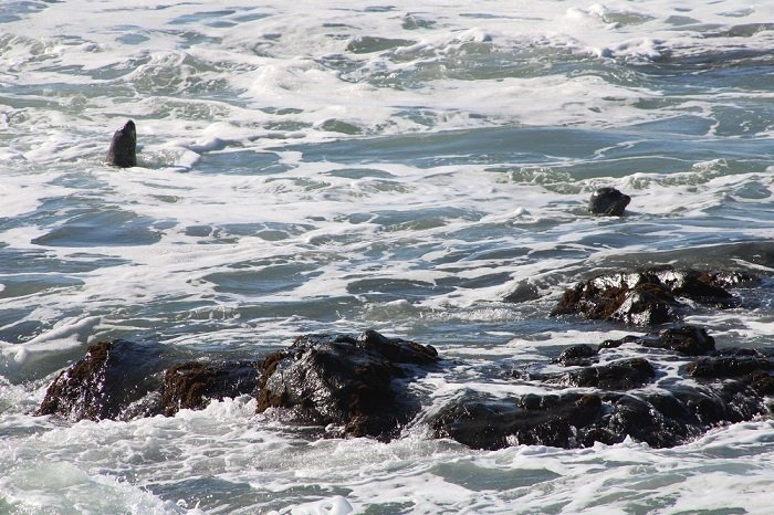 sea lions Cambria